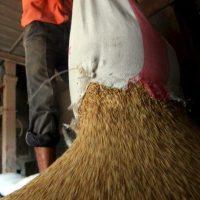 مضارب الأرز