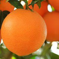 البرتقال ؛ الموالح